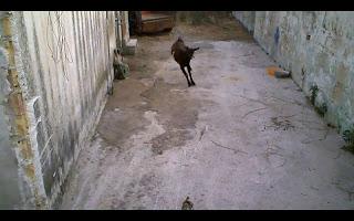 Μια τρελή Κεφαλονίτισα… κατσίκα