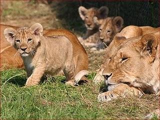Δολοφονούν τον βασιλιά των ζώων με φυτοφάρμακα